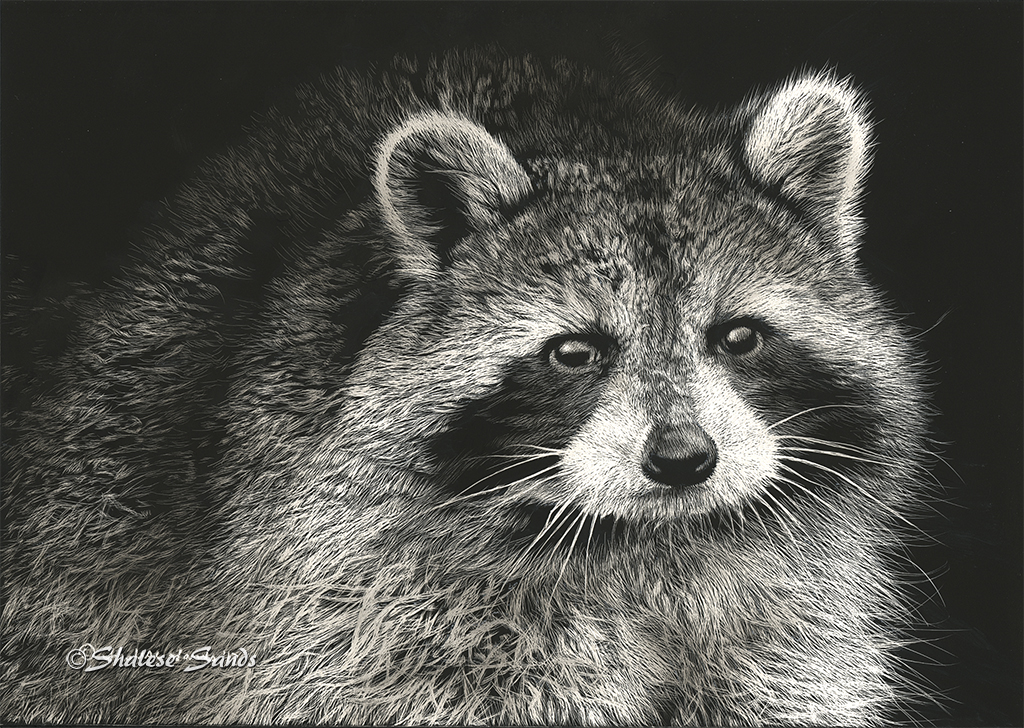 Raccoon Study by Shalese Sands