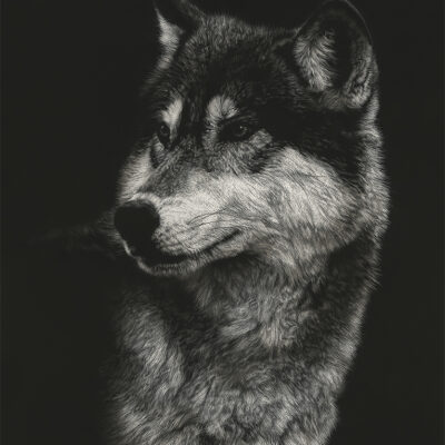Timber Wolf Portrait by Shalese Sands